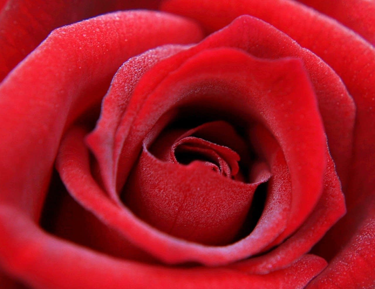 red rose, rose, feeling